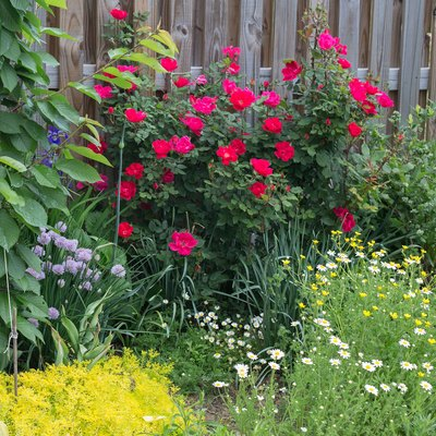 How to Trim Knockout Rose Bushes