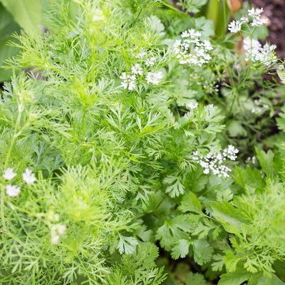 How to Kill Aphids on Cilantro