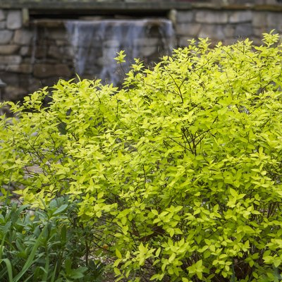How to Care for Kaleidoscope Abelia