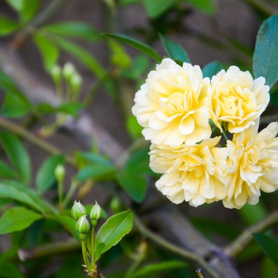 How to Prune a Lady Banks Rose