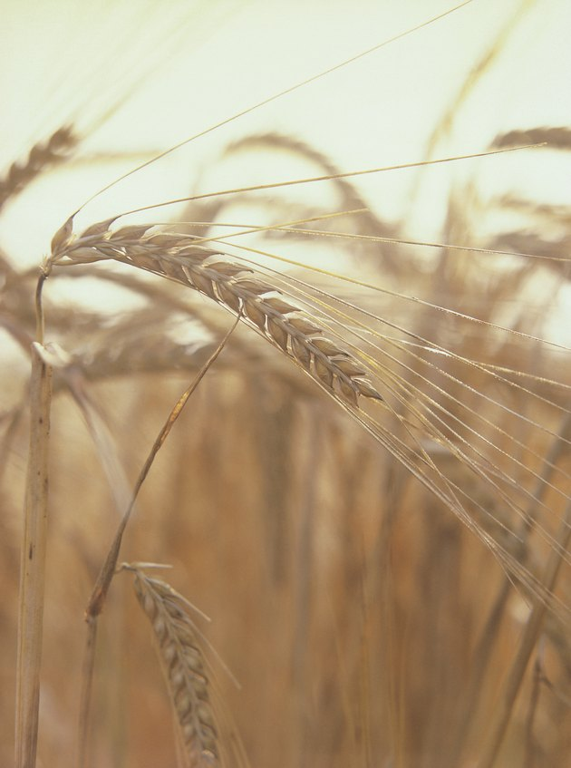 close-up of a stalk of wheat in a field