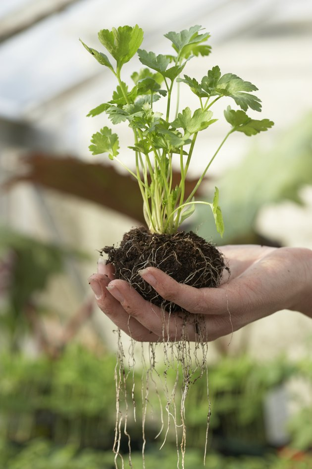 Unrecognizable person holding parsley in soil in greenhouse, close-up of hand