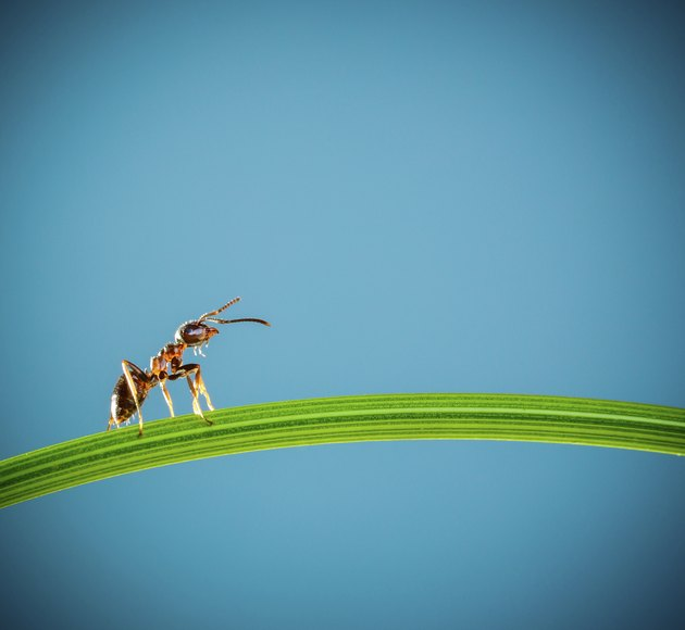 Ant and green grass