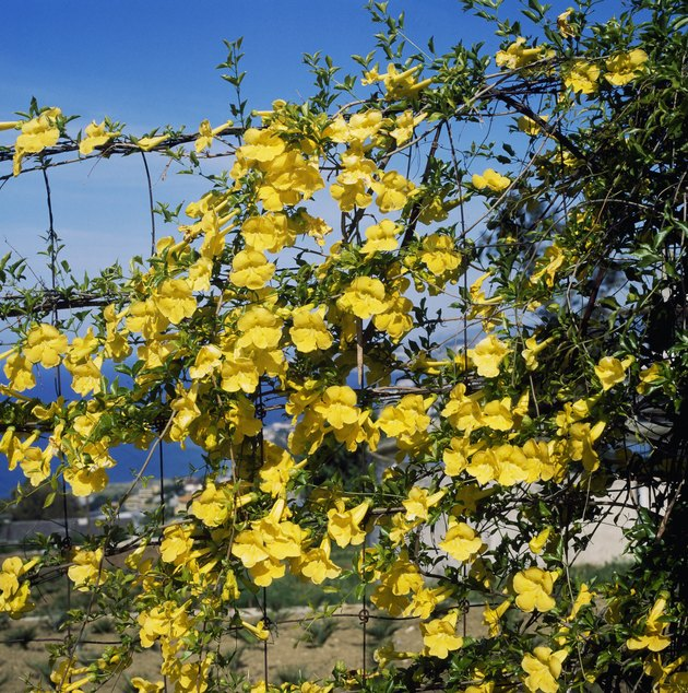 Cat's Claw or Yellow Trumpet Vine