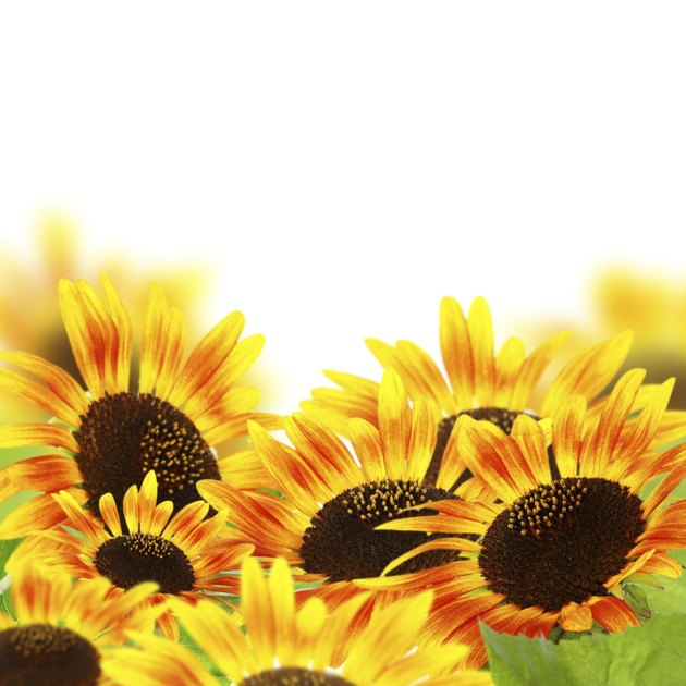 Red sunflowers.
