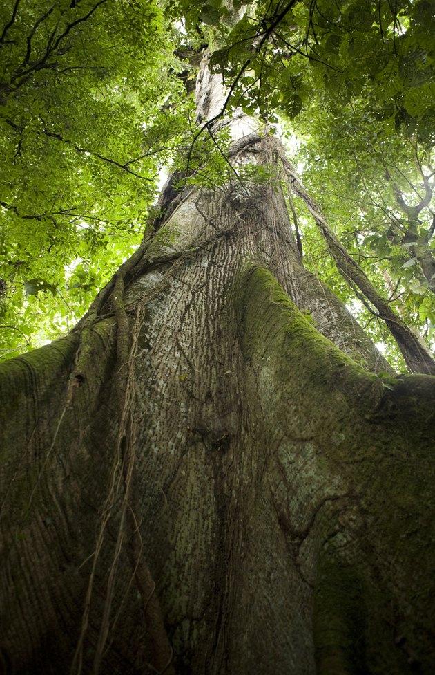 Ceibo tree in Arenal Volcano National Park, Costa Rica