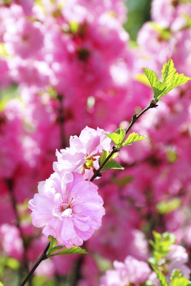 Blooming branch of Prunus Triloba