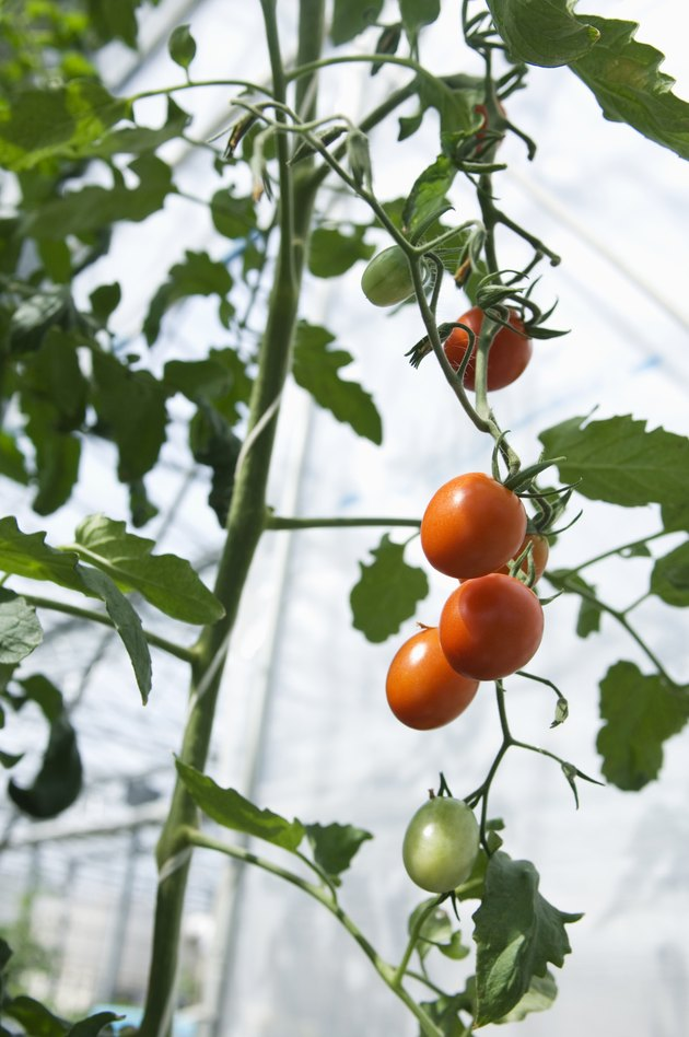 Cherry tomatoes growing in a greenhouse