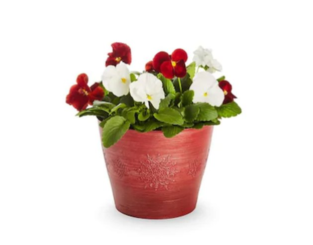 Red and white pansies in red pot