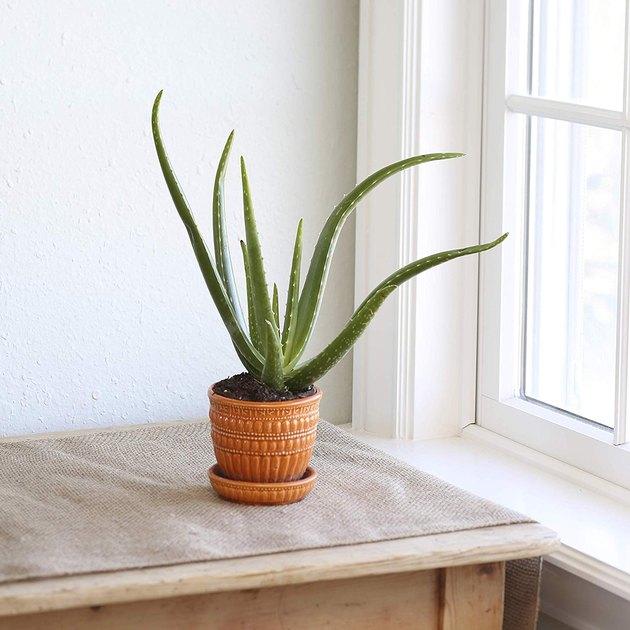 Aloe Vera plant in rust colored ceramic planter