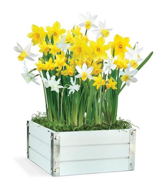 Topolino Daffodil plant