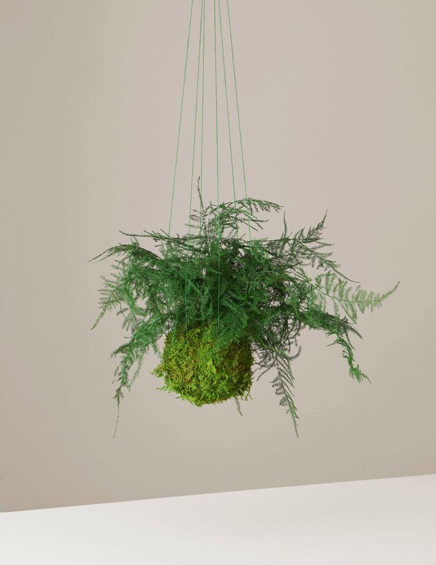 Preserved Fern Kokedama from The Sill's Valentine's Day collection