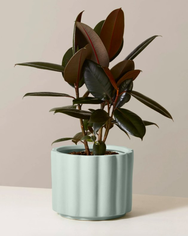 the sill rubber tree plant