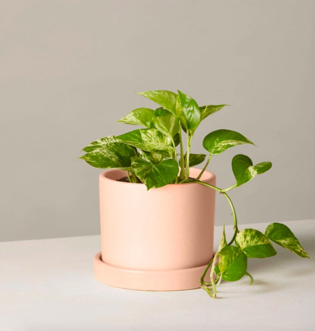 the sill pothos plant