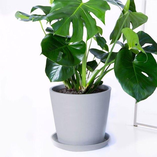 monastera plant