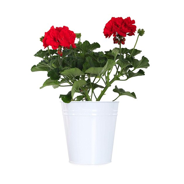 Geraniums in white pot