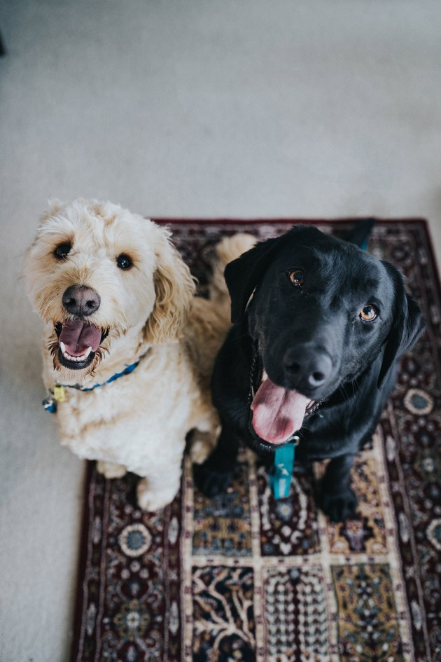two dogs sitting on area rug
