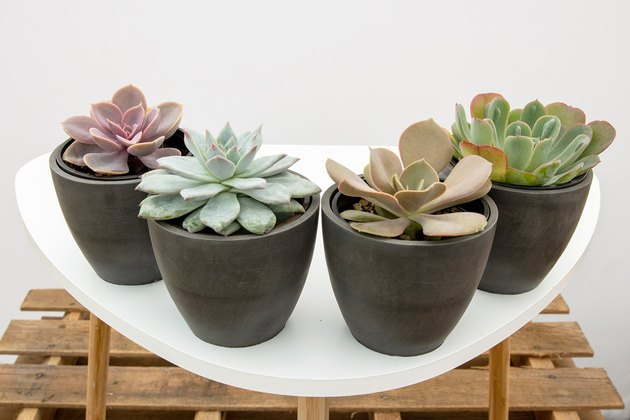 Four assorted succulents in small black ceramic vases
