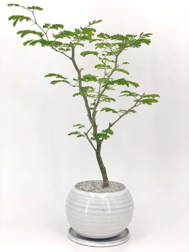 Brazilian rain tree in bulbous faintly striped gray ceramic planter