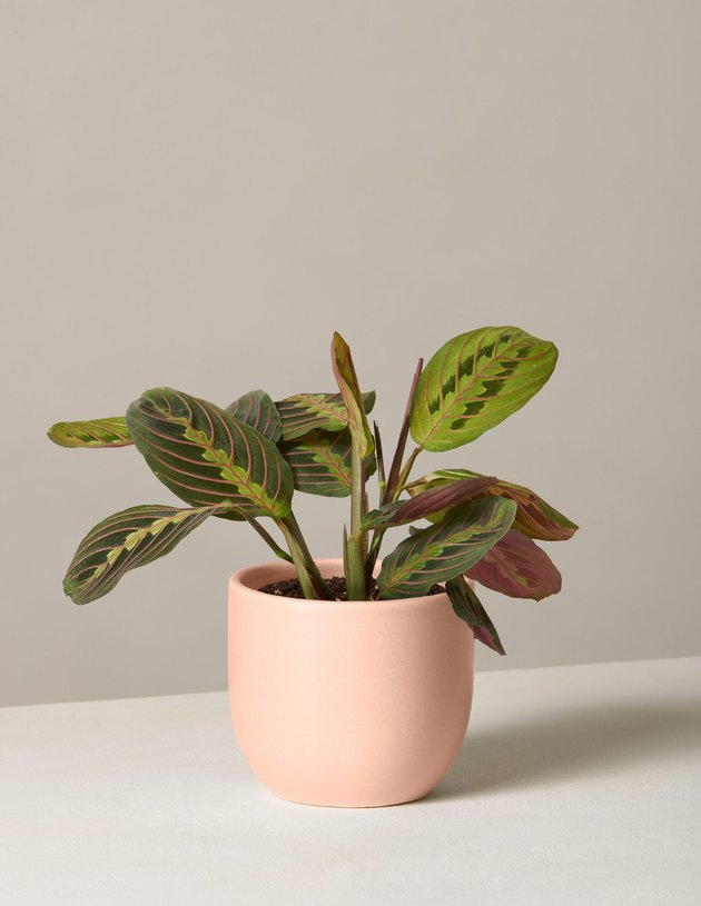 Maranta in pale peach planter