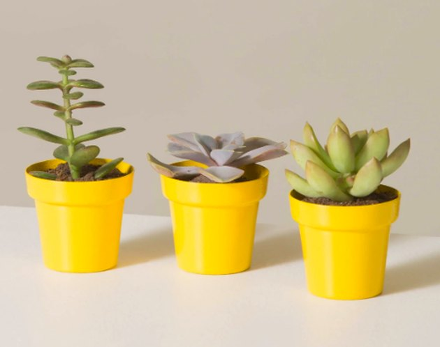 three succulent plants in yellow planters