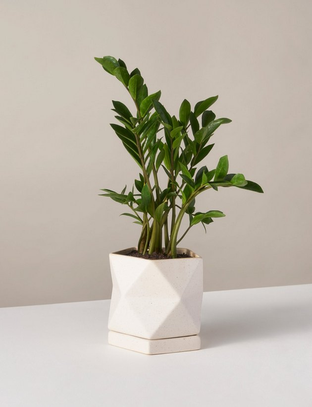 Plant, The Sill