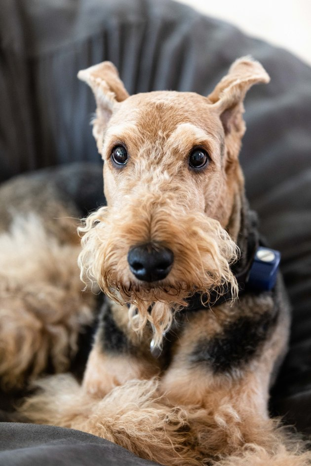 Airedale Terrier on grey couch