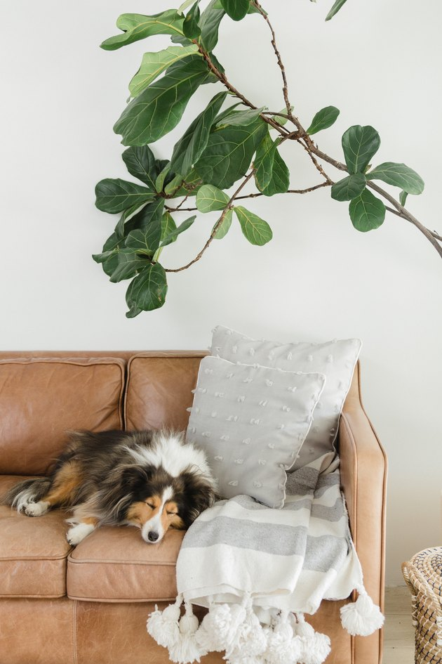 Dog sleeping on leather couch with blanket, next to plant