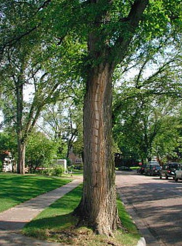 Treating a diseased elm tree.