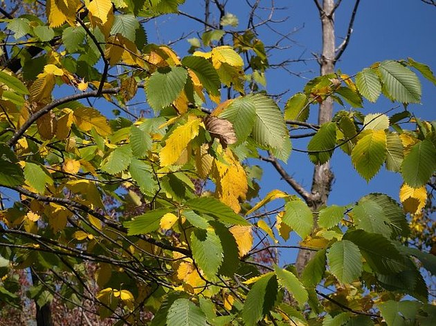Elm tree infected with elm yellows.