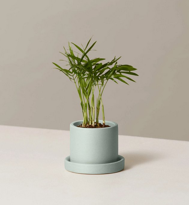 Parlor Palm plant in light blue planter