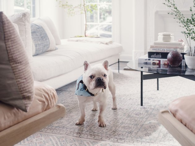 French bulldog on white carpet next to white couch