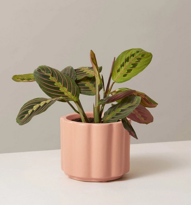 Prayer plant in peach colored planter