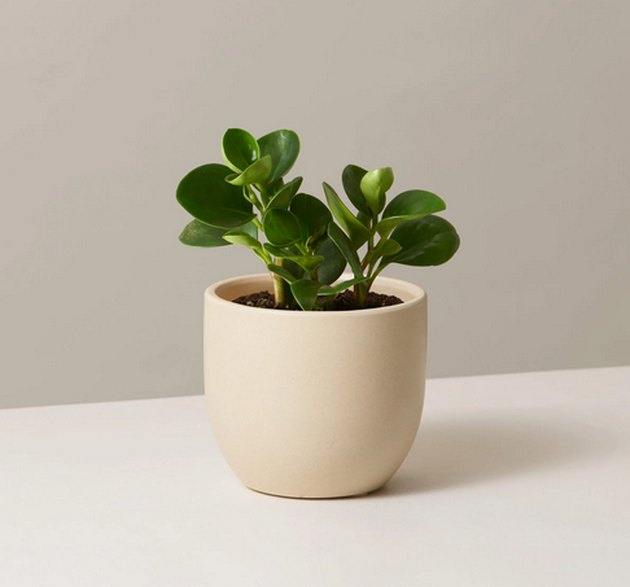 Baby rubber plant in cream colored planter