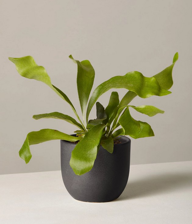 Staghorn Fern in black planter