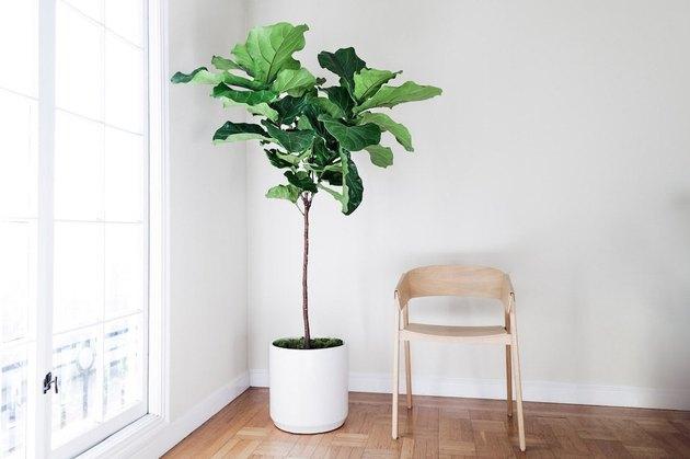 Indoor fig tree.