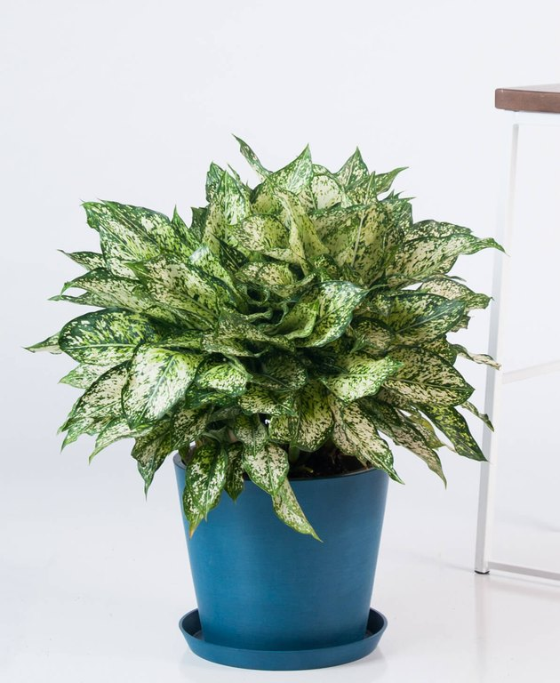 Aglaonema 'Spring Show' plant in blue planter