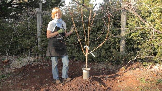 Planting a fig tree.