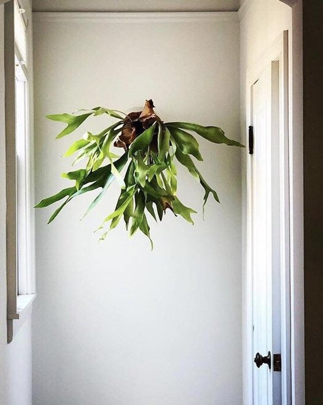 Staghorn Fern plant mounted on white wall.