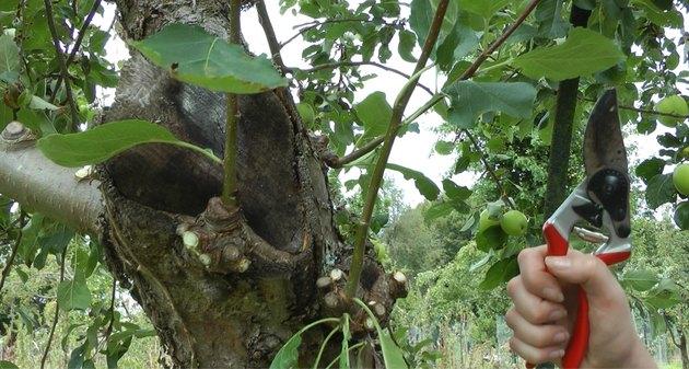 Pruning a plum tree.