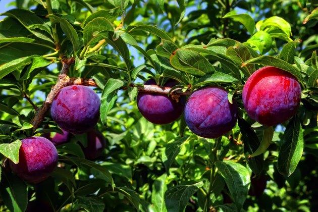 Ripe plums on tree.