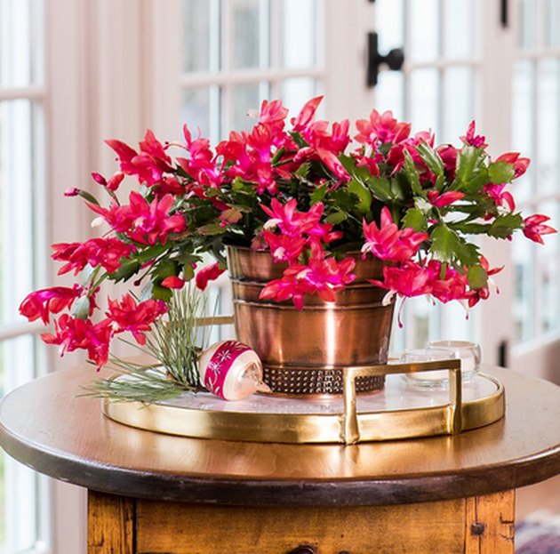 Christmas Cactus plant in gold planter