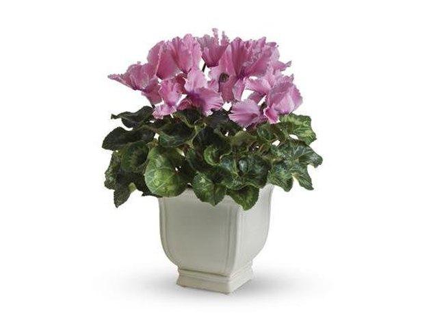 Cyclamen plant in white planter