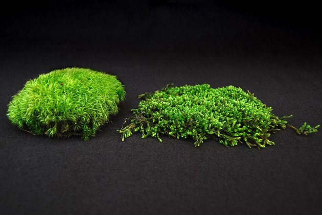 Two types of moss.