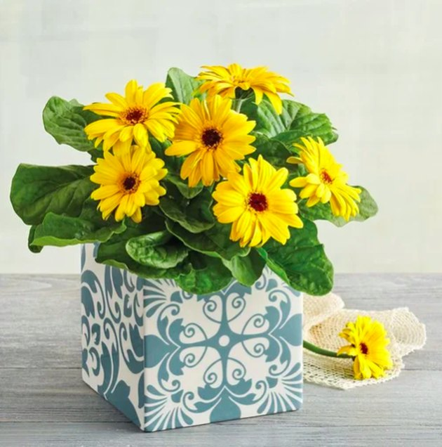 Gerbera Daisy Plant Gift in white and blue vase