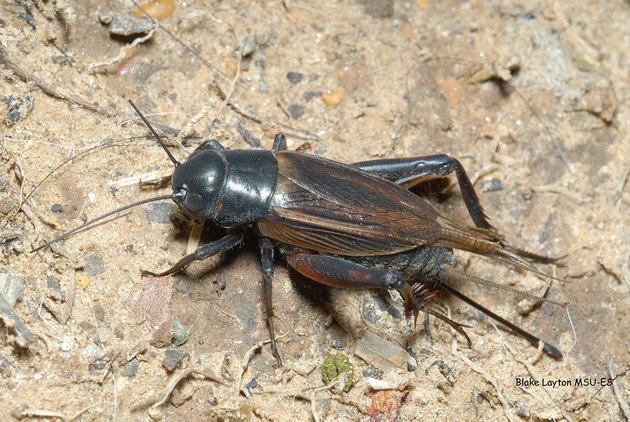 A field cricket.