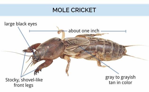 Mole cricket anatomy.