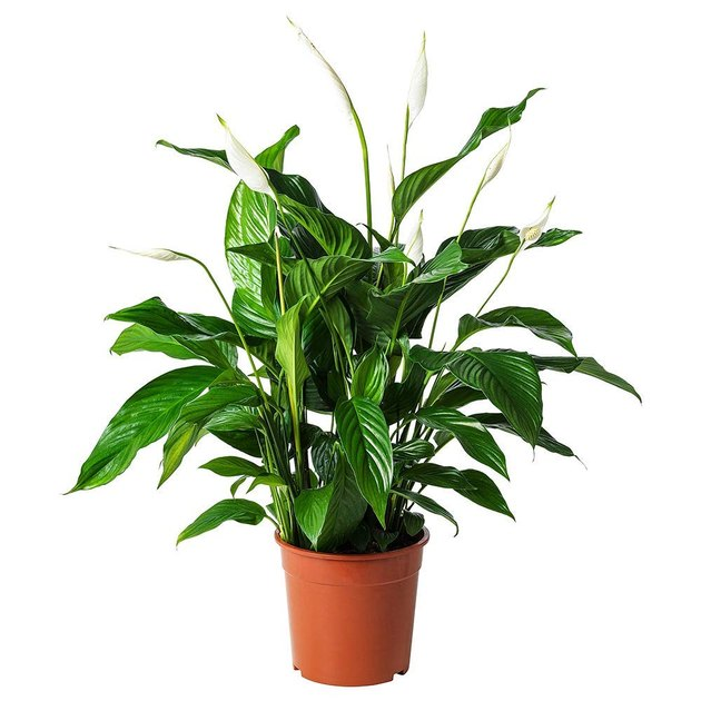 amplex peace lily