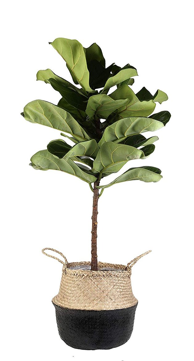 amazon fiddle leaf fig