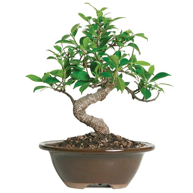 amazon ficus bonsai